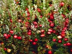 cranberry-1